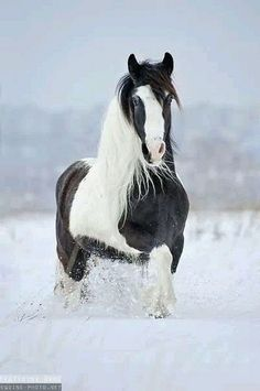 Photographs of draft horses of different breeds by Ekaterina Druz Equine Photography Most Beautiful Animals, Beautiful Horses, Beautiful Creatures, Pretty Horses, Horse Love, Anglo Arabe, Animals And Pets, Cute Animals, Gypsy Horse