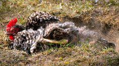 Egg Bound Chicken (How to Help Your Ailing Hen!) - Sorry Chicken Chicken Garden, Bath Recipes, Ground Cover Plants, Kiddie Pool, Chicken Runs, Chicken Breeds, Raising Chickens, Pet Care, Savannah Chat