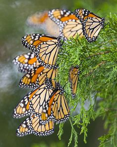 cape may monarch | Monarch Migration.  Hundreds of thousands of Monarch butterflies migrate through Cape May, NJ every year on their way to their wintering Grounds in Mexico.