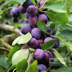 Fiolett plomme Prunus Opal - Opal Plum Tree