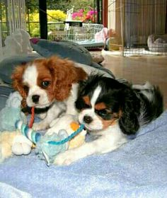 Cavalier pups sharing so sweetly. Most children don't have the patience and training to play this well together. Something tells me that they have done this a time or two before, Cavaliers are relatively easy to train and socialize because they want to please so strongly.