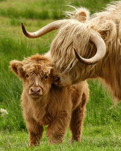 farm animals Im in love Happy Coosday! - Cassandra Zilker - farm animals Im in love Happy Coosday! farm animals Im in love Happy Coosday! Cute Baby Cow, Baby Cows, Cute Cows, Cute Baby Animals, Farm Animals, Funny Animals, Scottish Highland Cow, Highland Cattle, Scottish Highlands