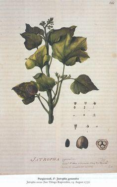 Door toedoen van Goethe kan de Hertog van Gotha een aantal zeldzame plantentekeningen van Georg Forster (1754-1794) aanschaffen, die tegenwoordig tot de grootste schatten van Gotha behoren