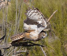 Great Horned Owl takes Flight! | Flickr - Photo Sharing!