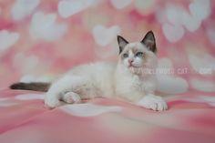 2015: Darcy A Zwollywood Cat. 12 Weeks old. Ragdoll kitten, seal bicolour. Dark world litter.