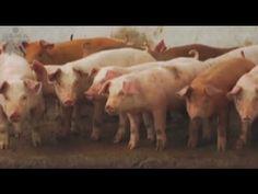 Como Criar Cerdos - Porcicultura- TvAgro por Juan Gonzalo Angel
