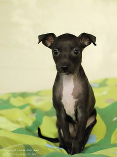 Italian Greyhound puppyyyyy!!!