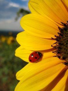 ladybug on a sunflower -  beloved helpers