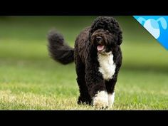 Why Obama Chose Portuguese Water Dogs