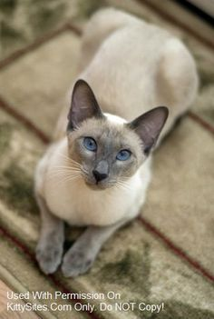 Blue Eyes Cattery- Distinctive Siamese