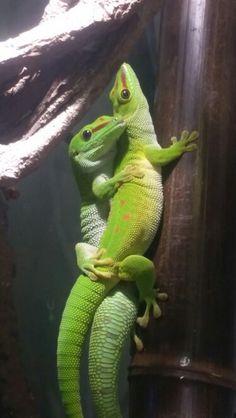 #Phelsuma Grandis love Pacman Frog, Pet Spider, Salamanders, Leopard Geckos, Reptiles And Amphibians, Cute Baby Animals, Terrarium, Cute Babies, Snake
