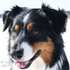 Black. | 19 Reasons Australian Shepherds Are The Best-Looking Dogs In The World