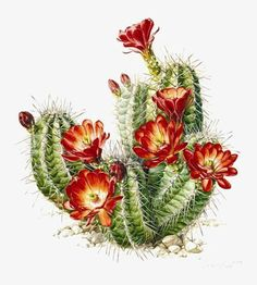 ideas tattoo nature watercolor botanical illustration for 2019 Succulents Drawing, Cactus Drawing, Cactus Painting, Watercolor Cactus, Kaktus Illustration, Nature Illustration, Deco Cactus, Cactus Art, Cactus Flower