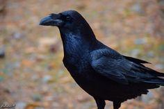 Halászi Réka fotóblog: Corvus corax