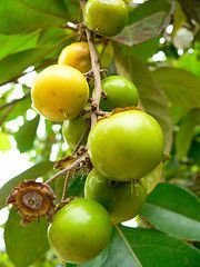 Craboo is a small tree grown in Belize.The fruit is particularly odorous, orange-yellow, round with a thin skin and white, juicy, oily pulp varying in flavour from bland to sweet, acid or cheese-like