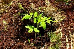 Ο Απρίλιος είναι η καταλληλότερη εποχή για να μεταφυτεύσουμε τις ντοματιές αλλά και τα υπόλοιπα καλοκαιρινά φυτά επιτέλους στο μποστάνι μας. Με τις σωστές φροντίδες θα τους δώσουμε τα απαραίτητα ιχνοστοιχεία, ώστε να παράγουν περισσότερους και πιο γευστικούς καρπούς. Herbs, Plants, Permaculture Garden, Decor, Tape, Decoration, Herb, Planters, Decorating