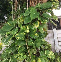 Large Giant Pothos Vine piece cutting on Mercari Pothos Vine, Pothos Plant, Epipremnum Pinnatum, Money Plant, Garden Oasis, Environment Concept, Tropical Garden, Is 11, Houseplants