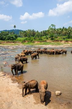 Elephants bathing at Pinnawala Elephant Orphanage in Sri Lanka. Check out our full guide to this awesome country at https://www.undiscovered.guide/sri-lanka