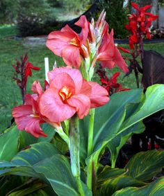 awesome Canna Flowers graceful Free Download
