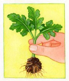 Plus de 1000 id es propos de chrysanth me sur pinterest - Chrysantheme entretien ...