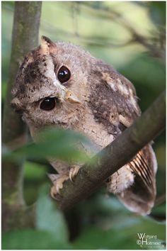 Indian Scops Owl by Wolfgang Holtmeier < W0LLE.deviantart.com on @DeviantArt