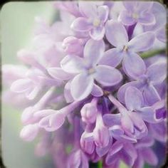 Lilacs are my all time favorite flower!  mmm...smell sooo good!