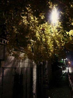 0131106_ginkgo night