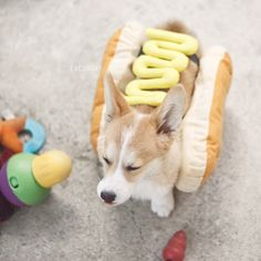 It's National Hot Dog Day, and wiener fans are chowing down. But humans aren't the only ones celebrating -- so are these dogs in hot dog suits. Corgi Funny, Corgi Dog, Dog Cat, Funny Dogs, Dachshund, Cute Puppies, Cute Dogs, Dogs And Puppies, Corgi Pictures