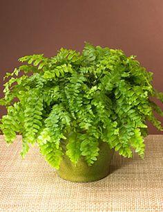 Amazing Birthday Presents Forever Green Fern Types Of Plants Shade Boston Ferns