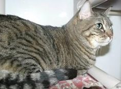 I'm Victoria, a 6-toed Tabby Cat, available for adoption at Simply Cats in Boise, ID. Re-pin this and help me find my forever home!