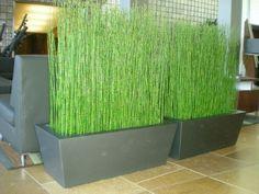 equisetum horsetail - Google Search: