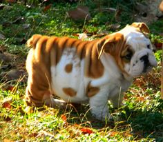 baggy english bulldog puppy