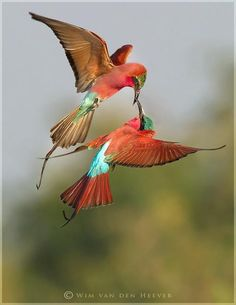Carmine Bee-Eaters look so much like our hummingbirds gorgeous .
