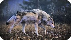 Totem Wolf Symbols: Wolf Meaning and Symbolism/ I ALWAYS get wolf as my spirit animal and I LOVE it! Wolves are just bad ass!
