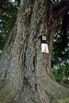 Philippine Centennial Tree is a 500-year old bitaog (calophyllum) tree in Magallanes, Agusan del Norte, Philippines.