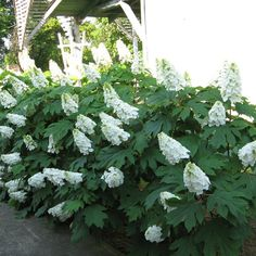 Proven Winners - Gatsby Gal® - Oakleaf hydrangea - Hydrangea quercifolia white will turn pinkish in fall plant details, information and resources. Garden Shrubs, Shade Garden, Garden Plants, Hydrangea Quercifolia, Limelight Hydrangea, Hydrangea Care, Hydrangea Plant, Hydrangeas, Hydrangea Varieties