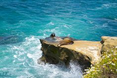 Sunbathing Seals at La Jolla Cove Cali - Healthy. La Jolla Cove, Seal Beach, San Diego Houses, World Photography, California Dreamin', Future Travel, Laguna Beach, Sliders, Adventure Travel