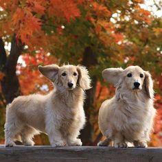 English cream dachshunds
