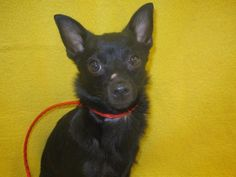 Petfinder  Adoptable | Schipperke/Chihuahua | Dog | Pittsburg, KS | Ozzy2