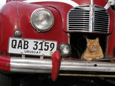 Gato uruguayo