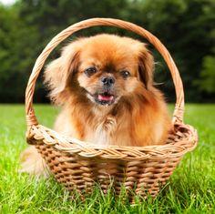 Does your pekingese have bad breath? http://www.pekinews.com/how-to-treat-dog-bad-breath-treating-your-pekingeses-halitosis/