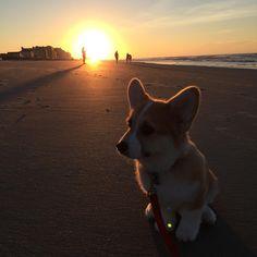 Corgi Sunrise