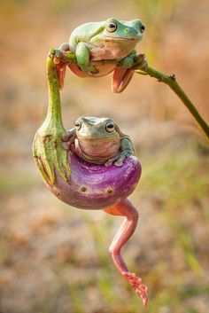 Le plus chaud Photos Reptiles exoticos Idées Animals And Pets, Baby Animals, Funny Animals, Cute Animals, Funny Frogs, Cute Frogs, Frog Pictures, Animal Pictures, Reptiles And Amphibians