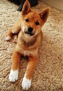 corgi shiba inu mix my little buckley oh my gosh it 39 s amazing like mixing baxter with. Black Bedroom Furniture Sets. Home Design Ideas