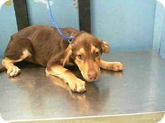 Houston, TX - Doberman Pinscher/Australian Shepherd Mix. Meet DERBY a Puppy for Adoption.