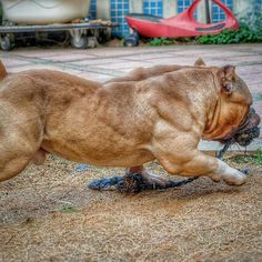 American Bully Daily ⋆ Everything About Pitbull and Bully Dog Breeds Giant Dogs, Big Dogs, Large Dogs, I Love Dogs, Cute Dogs, Dogs And Puppies, Bully Pitbull, Pitbull Terrier, American Bully