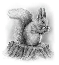 Squirrel by Greg Joens 📌📌📌 Squirrel, pencil sketch on bristol paper - Greg Joens.<br> Squirrel Drawing by Greg Joens Pencil Sketches Of Animals, Pencil Drawings Of Nature, Realistic Animal Drawings, Art Drawings Sketches, Cute Drawings, Pencil Sketch Art, Pencil Sketching, Drawing Animals, Drawing Faces