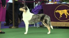 Collie Smooth Dog Show 2016 WKC Westminster Kennel Club