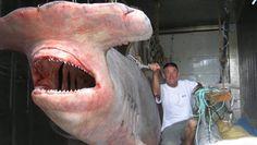 Worlds Biggest Hammerhead Shark Ever Captured: 40 Feet Long