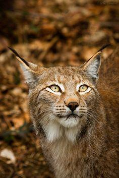 Bobcat beauty